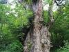 世界遺産の杉