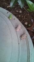 3匹のカエル