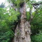 大岩杉(縄文杉)